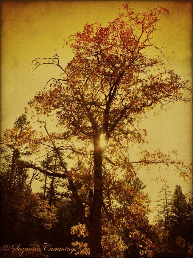 Autumn colored oak tree