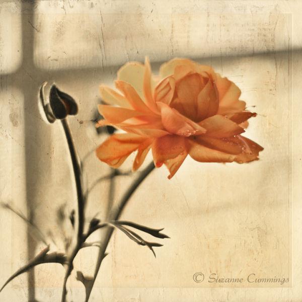 Orange Ranunculus textured