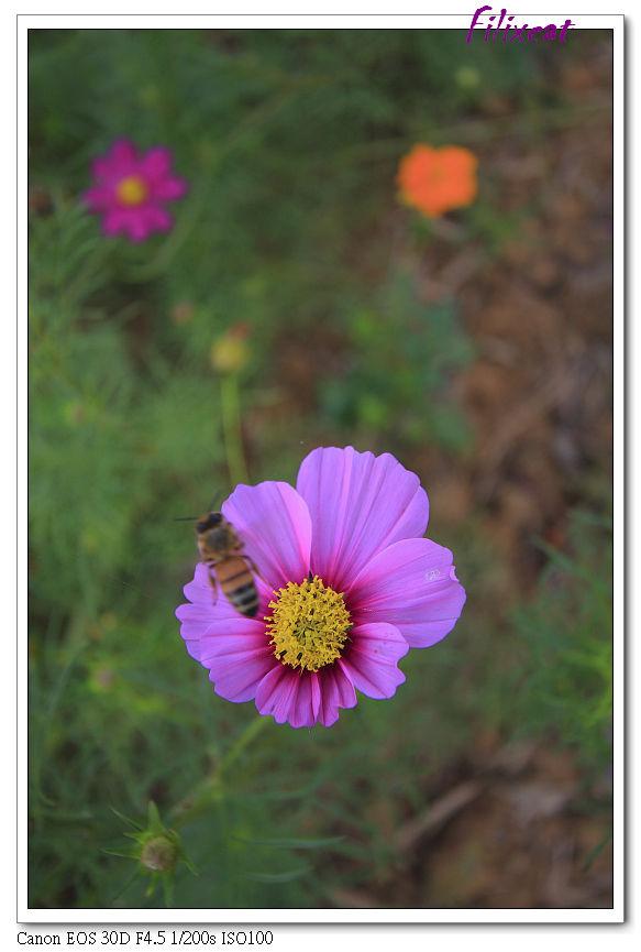 Coreopsis & bee