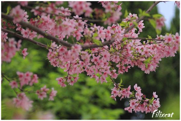 Sakura flower_1