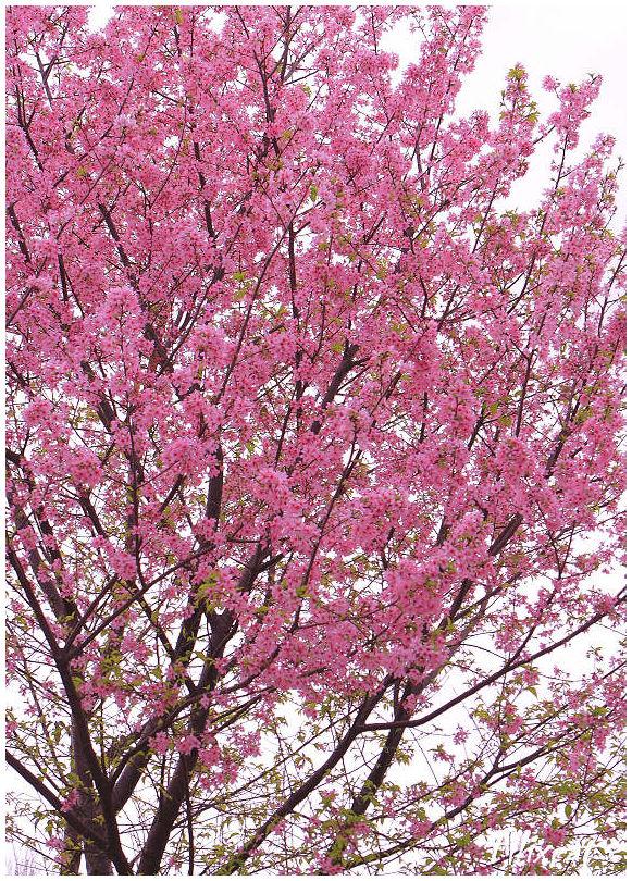 Sakura flower2