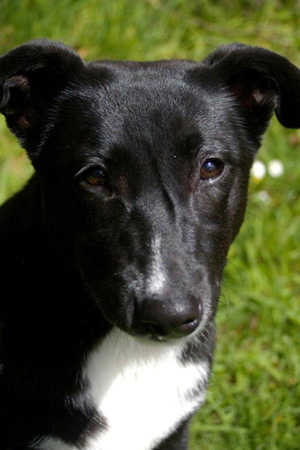 my puppy - labrador x kelpie x something else