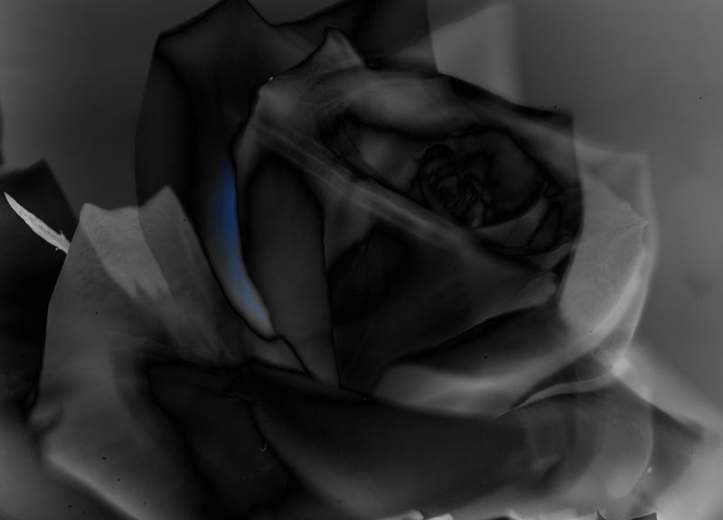 The Metaphysician's Rose