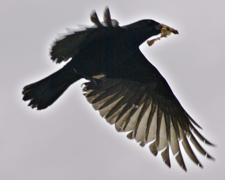 Crow on wing, with dinner