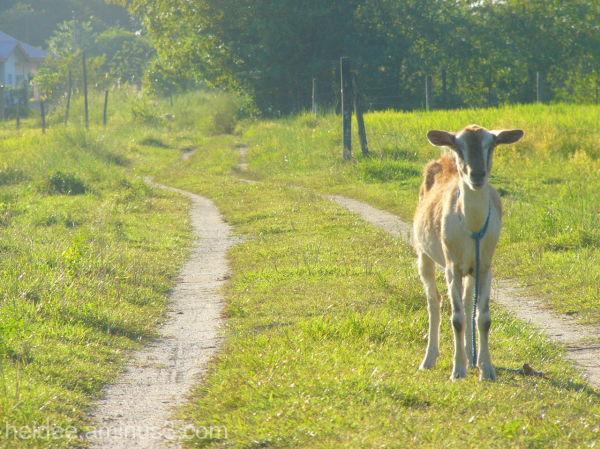 khristine catalig, goat