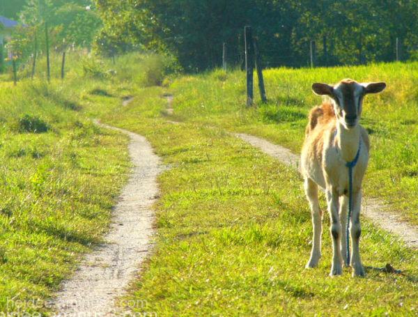 heidee catalig, goat