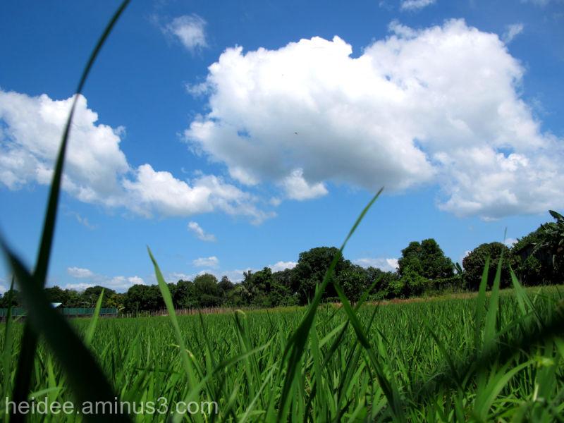 ricefield bulacan