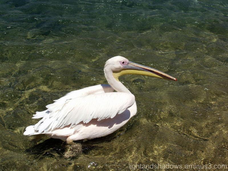 Pelican Mykonos