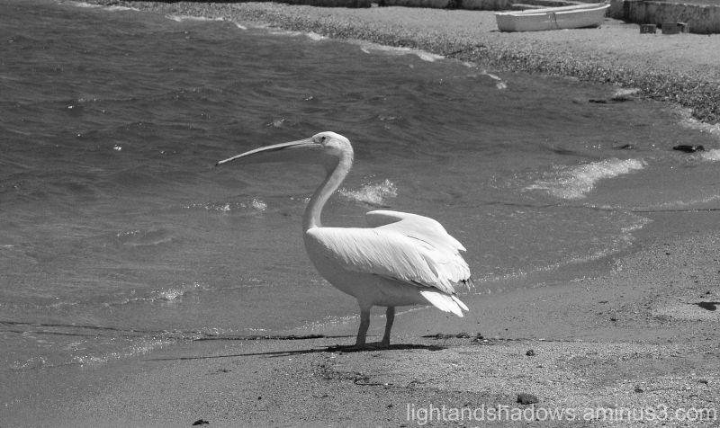 Pelican of Mykonos