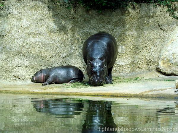 hippos zoo