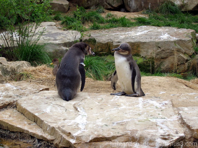 zoo penguins