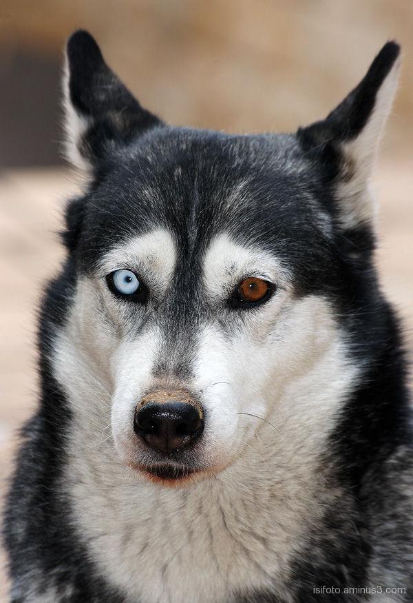L A N A  ( husky siberiano)