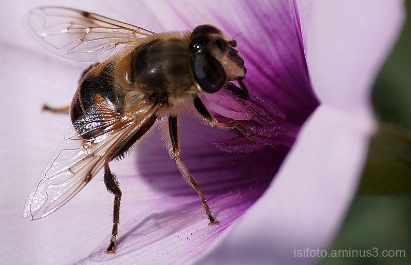 abeja macro
