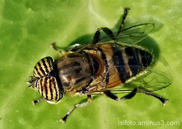Muy de cerca (Eristalinus taeniops)