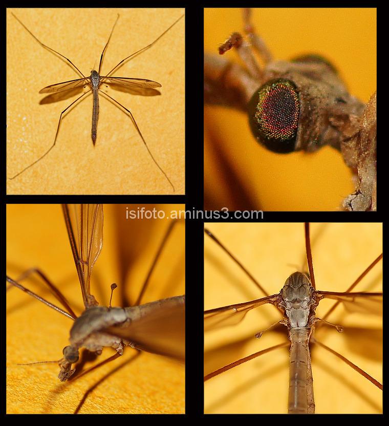 Detalles mosquito gigante