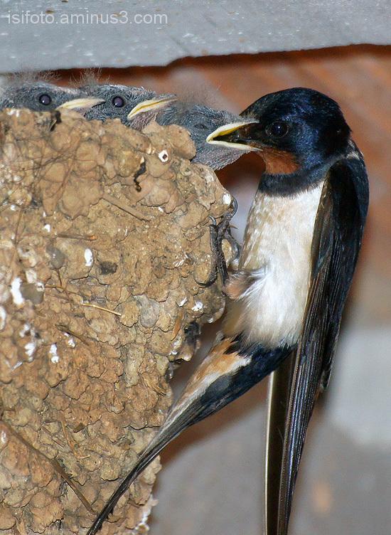 golondrina nido