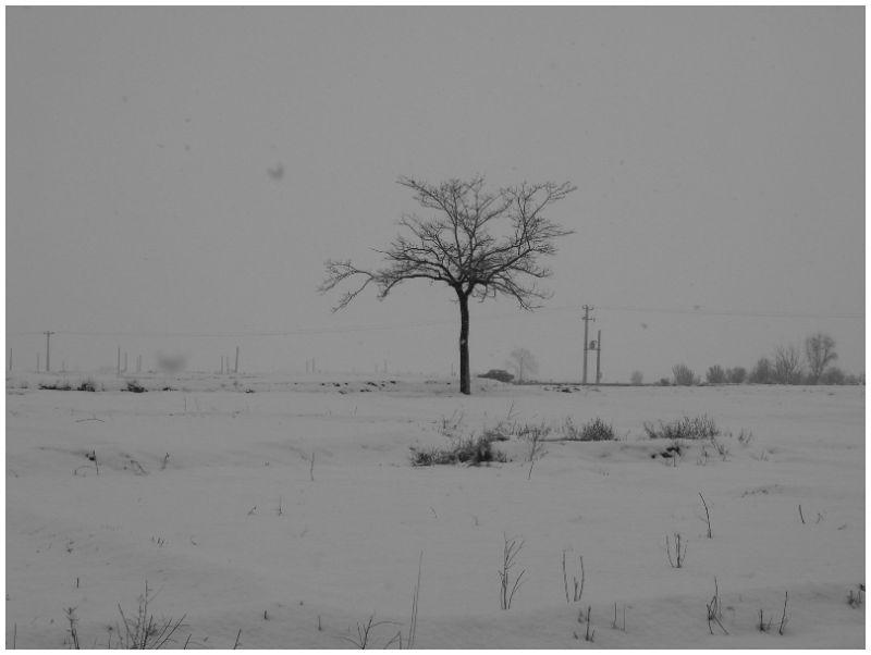 Lonley tree in snow