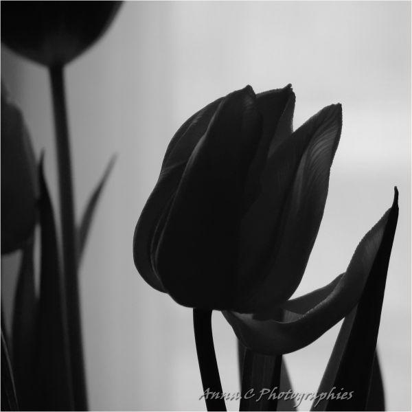 Les tulipes noires