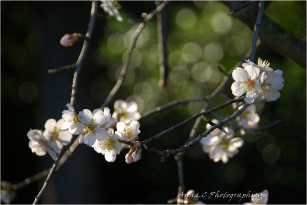 Sakura, Sakura !