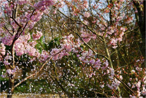 Neige de printemps ( bis )