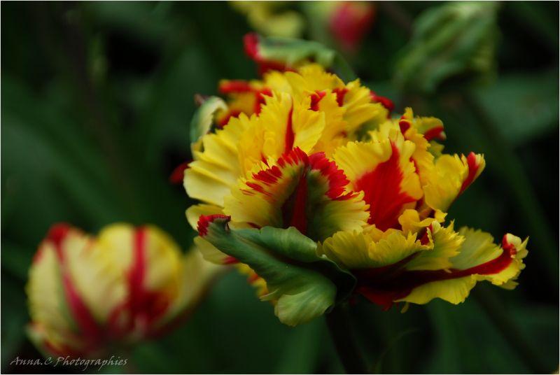 Tulipe perroquet