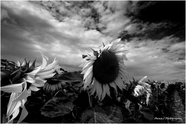 Black & White sunflowers