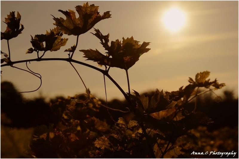 Vignes dans la lumière d'automne