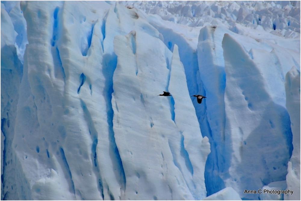 Vol d'ibis sur le Perito Moreno