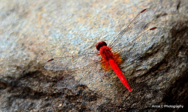 La Demoiselle rouge / The red dragonfly