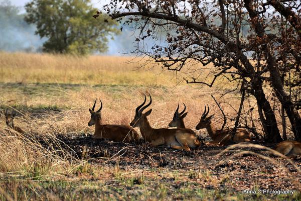 Le repos des gazelles