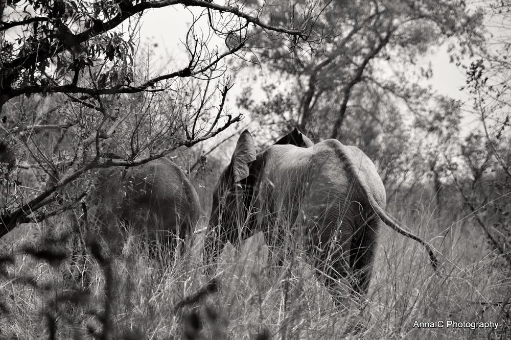 Le passage des éléphants # 3