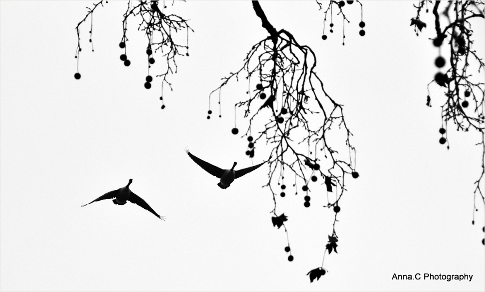 Le vol des oies sauvages