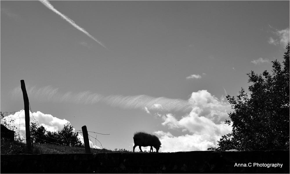 Le mouton solitaire