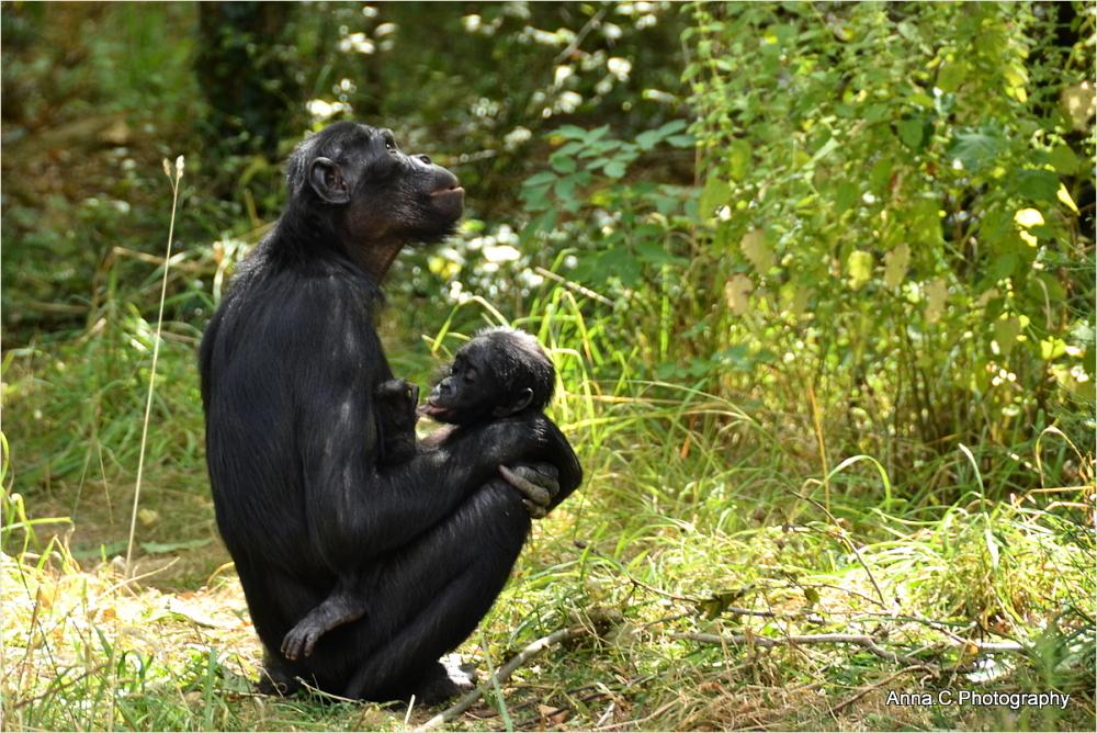 La Tétée du petit Bonobo