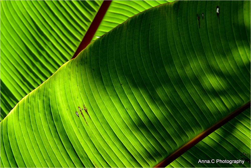 Vert bananier