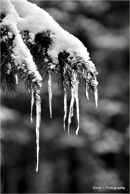 Les larmes gelées du sapin