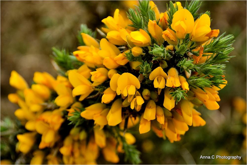 Soleil breton, l'or des genêts