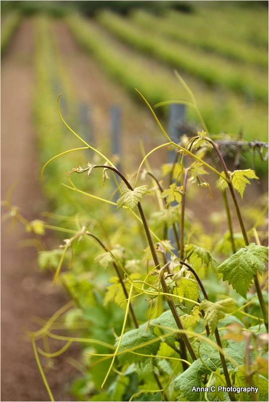 Au coeur des vignes # 1