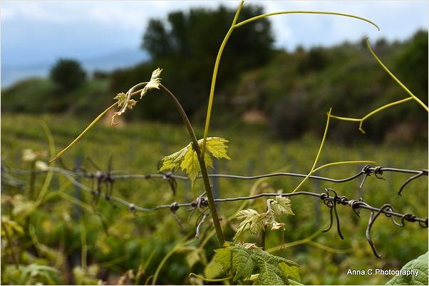 Au coeur des vignes # 2
