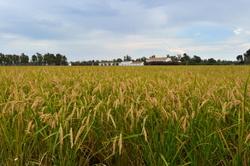 Les rizières du Delta de l'Ebre #1