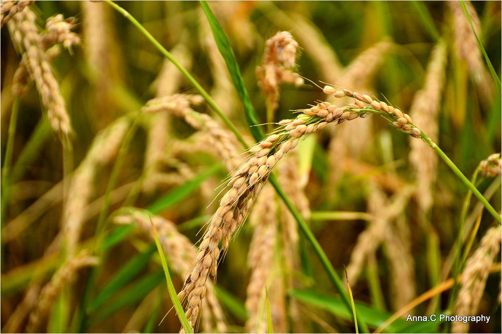 Les rizières du Delta de l'Ebre #2