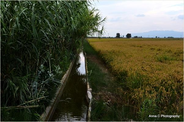 Les rizières du Delta de l'Ebre #3