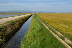 Les rizières du Delta de l'Ebre #4