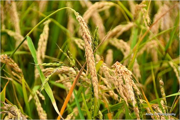 Les rizières du Delta de l'Ebre #5