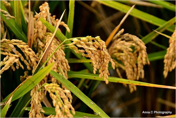 Harvest season #3