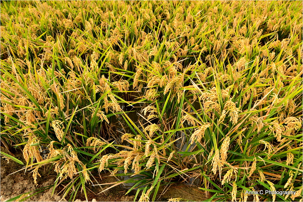 Harvest season #1