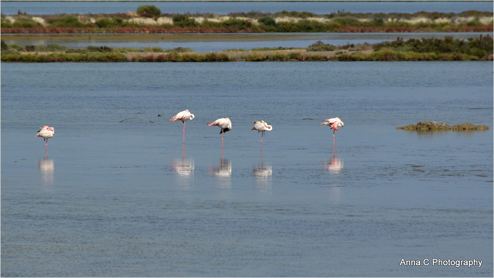 La sieste des flamants roses