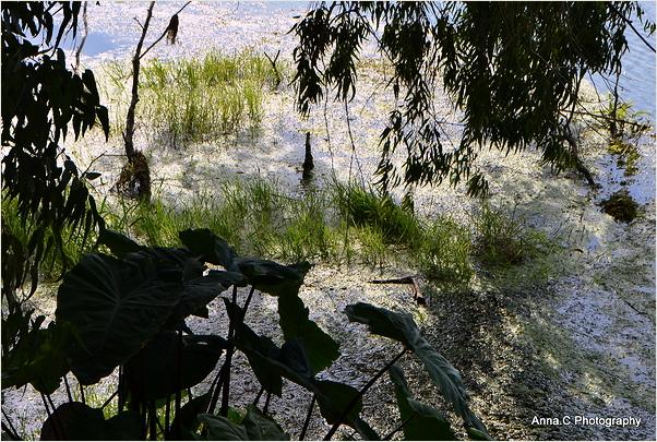 Végétation aquatique