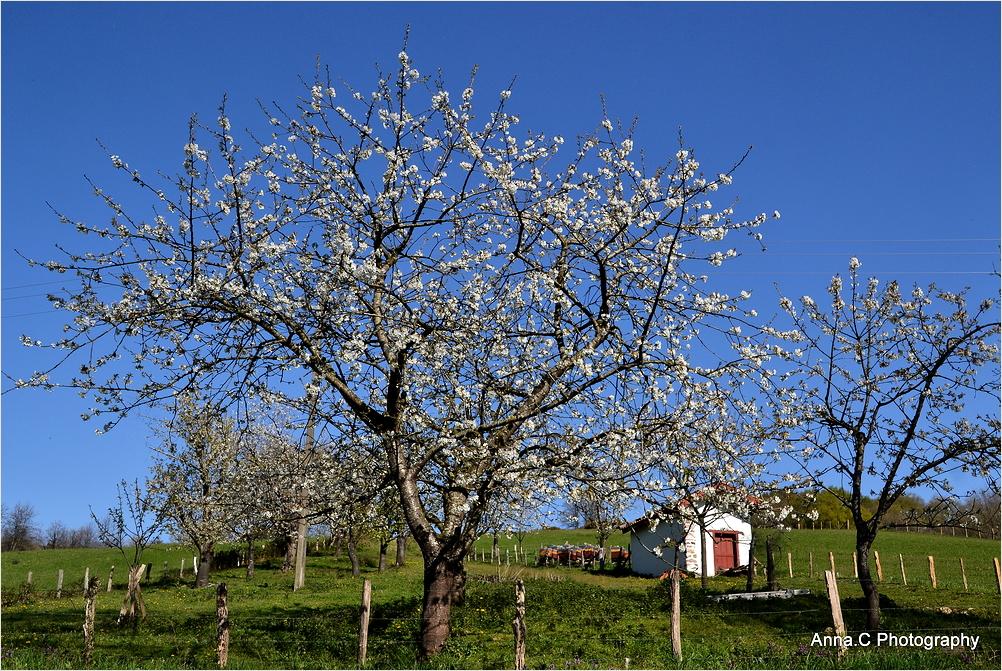 Les cerisiers en fleurs d