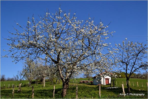 Les cerisiers en fleurs d'Itxassou #1